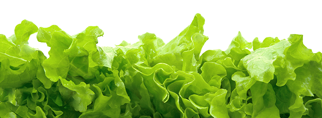 Romaine Lettuce cropped